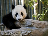 Panda-in-Chengdu-China.jpg