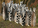 africa-madagascar-group-of-lemurs.jpg